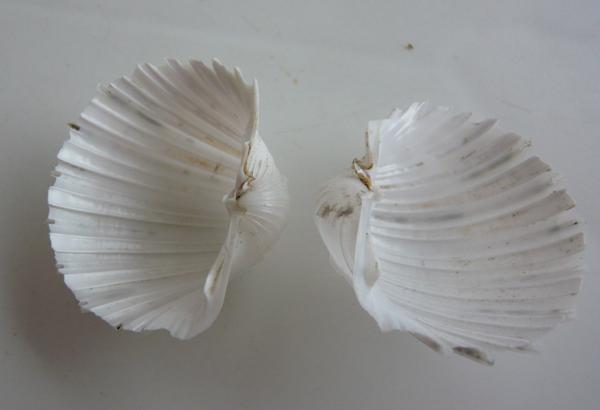 Cardium costatum - Linnaeus, 1758  Cardiu12