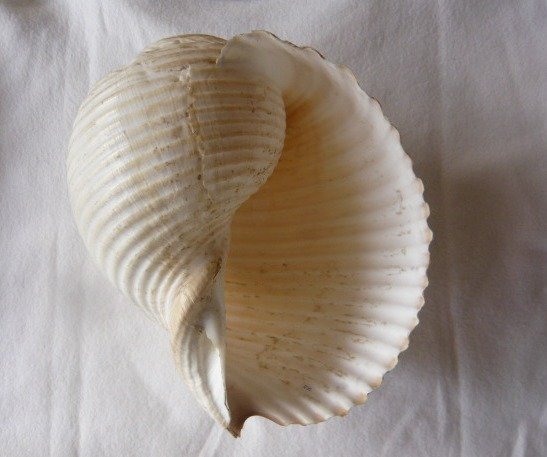 Tonna galea - (Linnaeus, 1758) P1010850