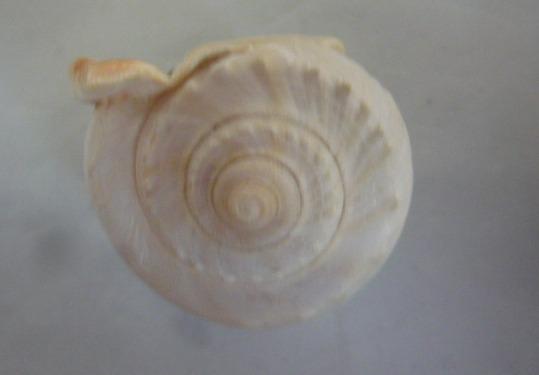 Phalium glaucum - (Linnaeus, 1758) P1010913