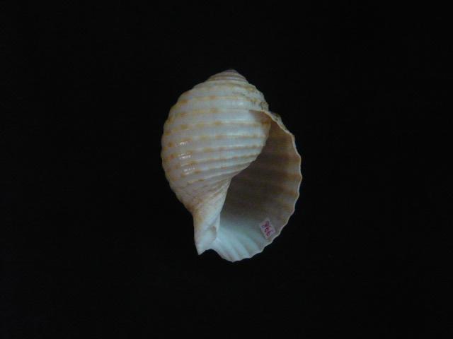Tonna allium - (Dillwyn, 1817)  P1010916