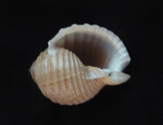 Tonna allium - (Dillwyn, 1817)  P1010922