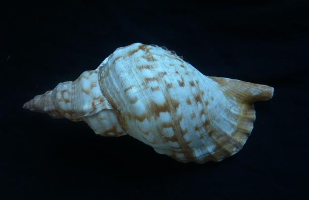 Charonia lampas - (Linnaeus, 1758) P1010936