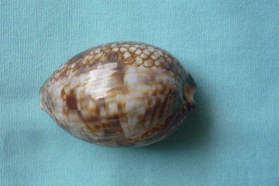 Mauritia histrio - (Gmelin, 1791) - Page 3 P1010959