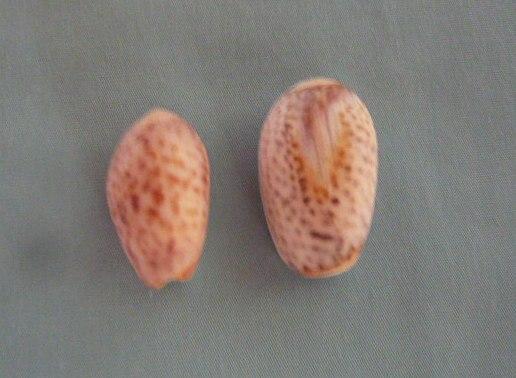 Olives de Madagascar (736) P1010964