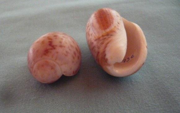 Olives de Madagascar (736) P1010966