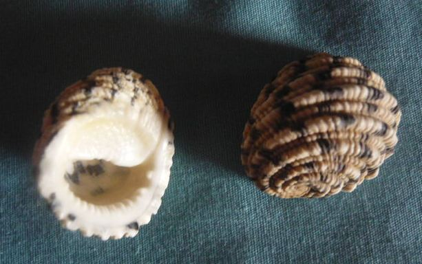 Nerita textilis - Gmelin, 1791 P1010971