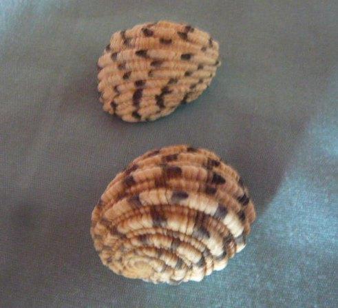 Nerita textilis - Gmelin, 1791 P1010972