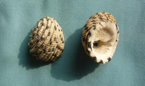 Nerita textilis - Gmelin, 1791 P1010973