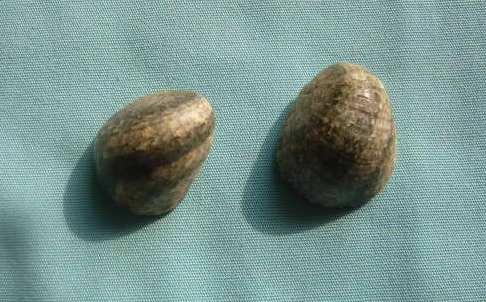 Nerita polita - Linnaeus, 1758 P1010974