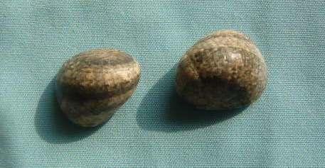 Nerita polita - Linnaeus, 1758 P1010975