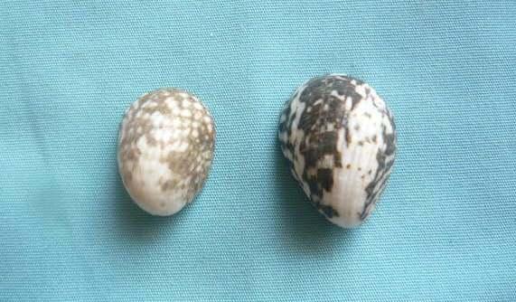 Nerita albicilla - Linnaeus, 1758 P1020011