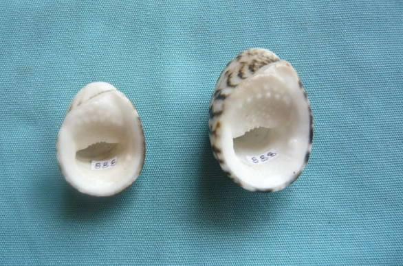 Nerita albicilla - Linnaeus, 1758 P1020012