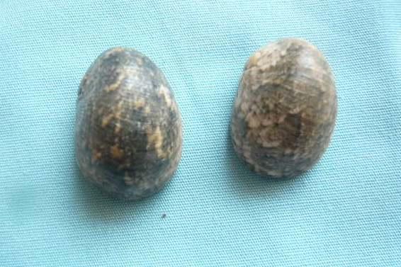 Nerita polita - Linnaeus, 1758 P1020013