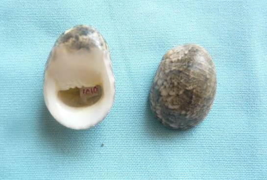 Nerita polita - Linnaeus, 1758 P1020014