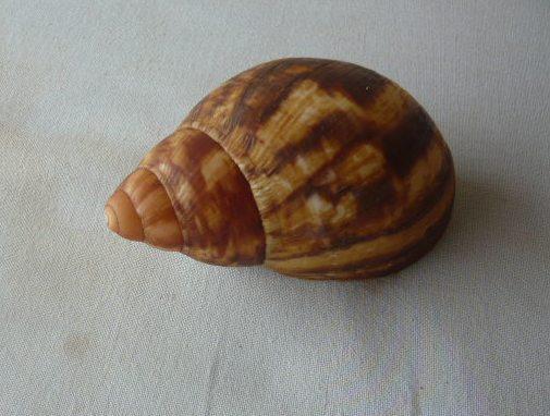 Archachatina marginata (Swainson, 1821) P1020062