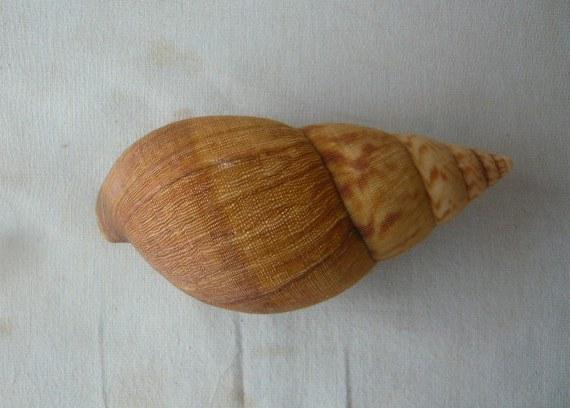 Achatina iostoma L. Pfeiffer, 1854 P1020063