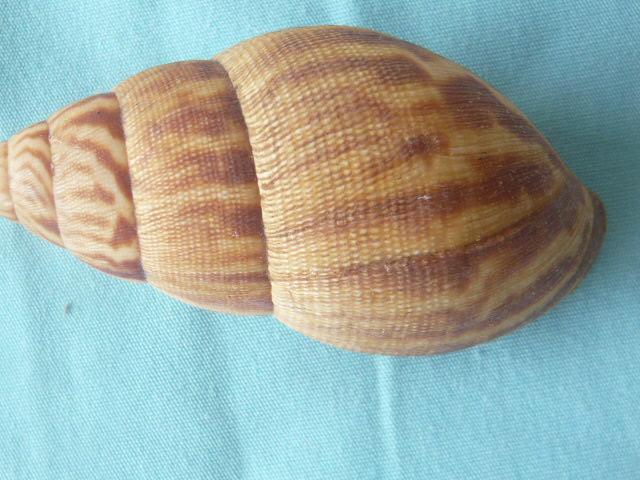 Achatina iostoma L. Pfeiffer, 1854 P1020077