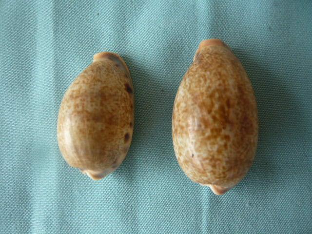 Cypraea de Madagascar (763) caurica elongata P1020169