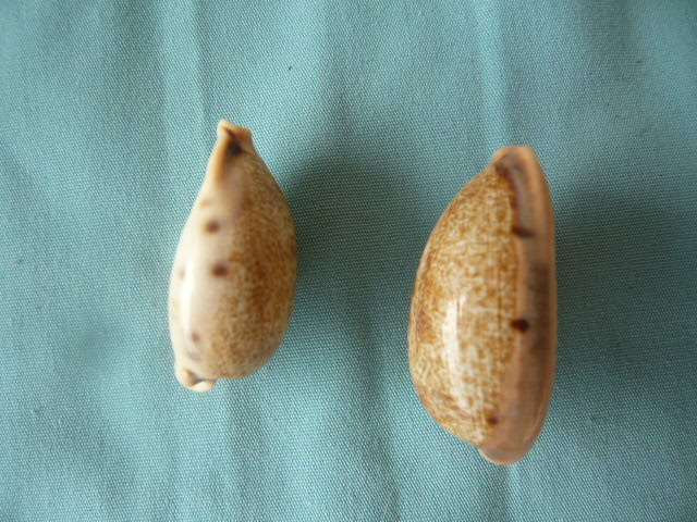 Cypraea de Madagascar (763) caurica elongata P1020172