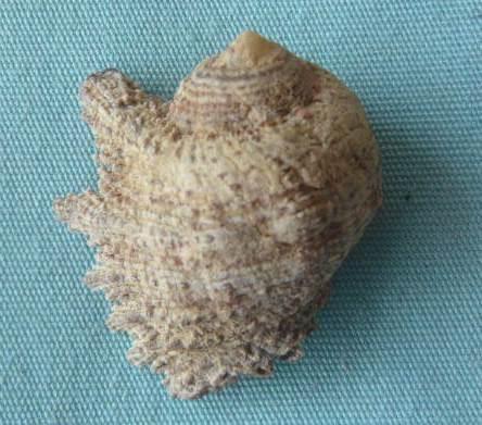Drupina lobata - (Blainville, 1832) P1020243