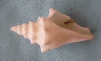 Strombus gigas (Linnaeus, 1758) voir Lobatus gigas (Linnaeus, 1758) P1020349