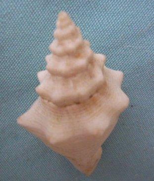 Strombus gigas (Linnaeus, 1758) voir Lobatus gigas (Linnaeus, 1758) P1020350
