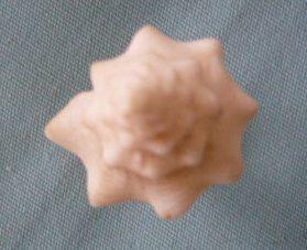 Strombus gigas (Linnaeus, 1758) voir Lobatus gigas (Linnaeus, 1758) P1020351