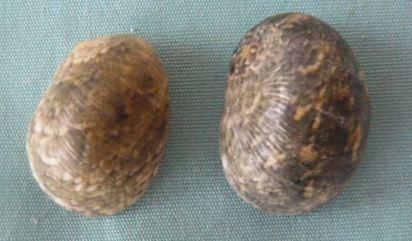 Nerita polita - Linnaeus, 1758 P1020416