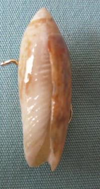 Agaronia acuminata Lamarck 1811 P1020432