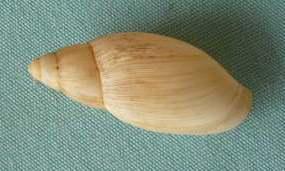 Euglandina rosea (Ferrusac 1821) P1020448