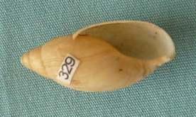 Euglandina rosea (Ferrusac 1821) P1020449