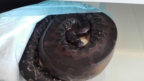 Python curtus black Sumatra 18342011