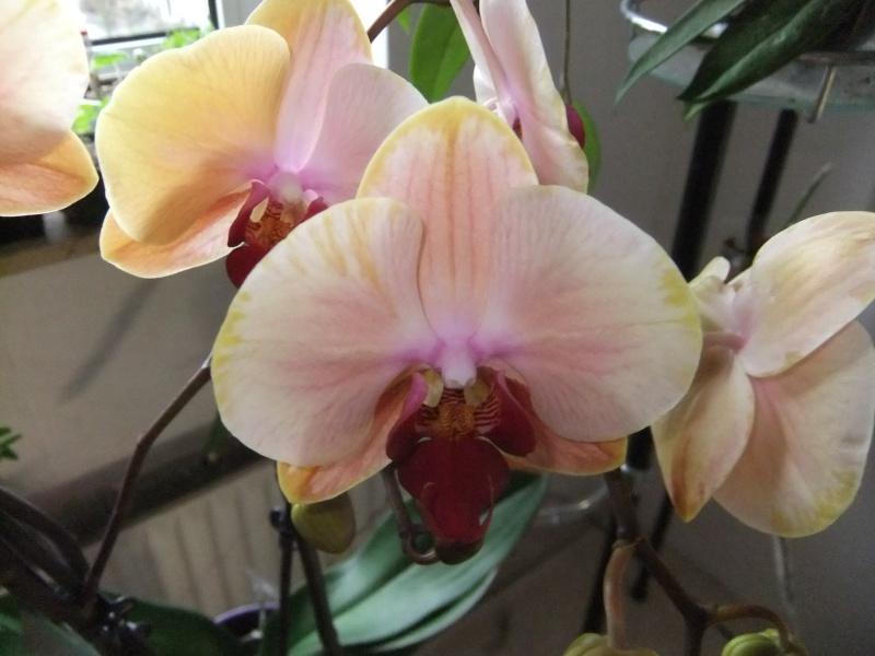 Orchideen - Seite 52 Dscf8548