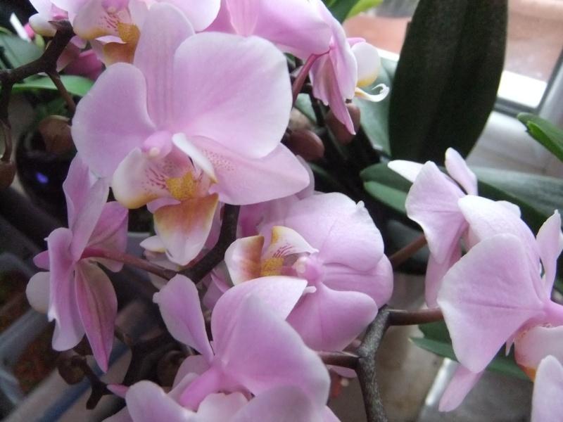 Orchideen - Seite 52 Dscf8554