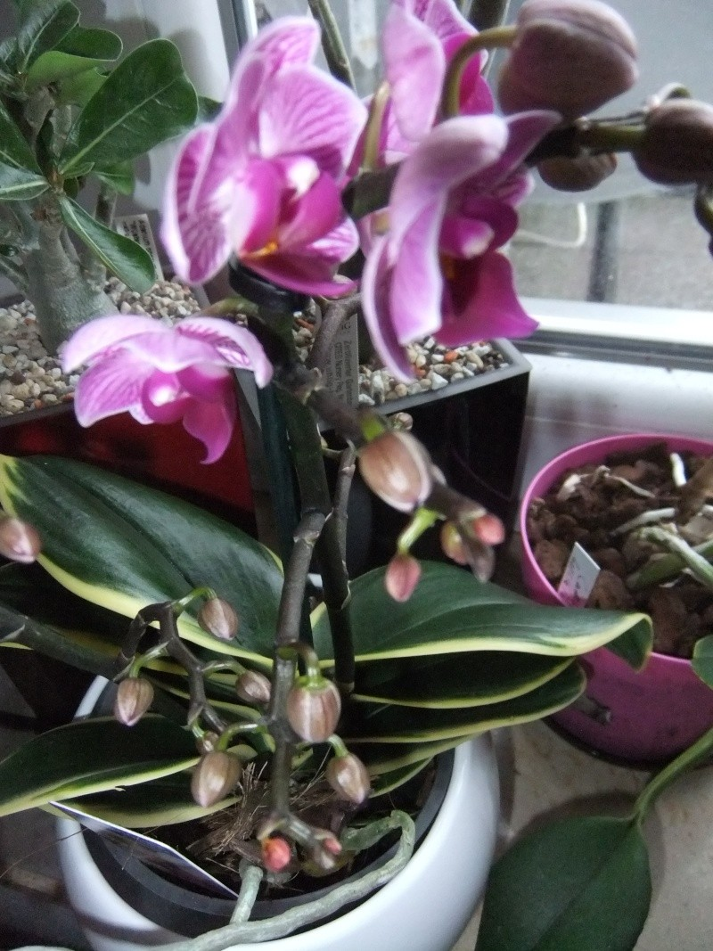 Orchideen - Seite 52 Dscf8557