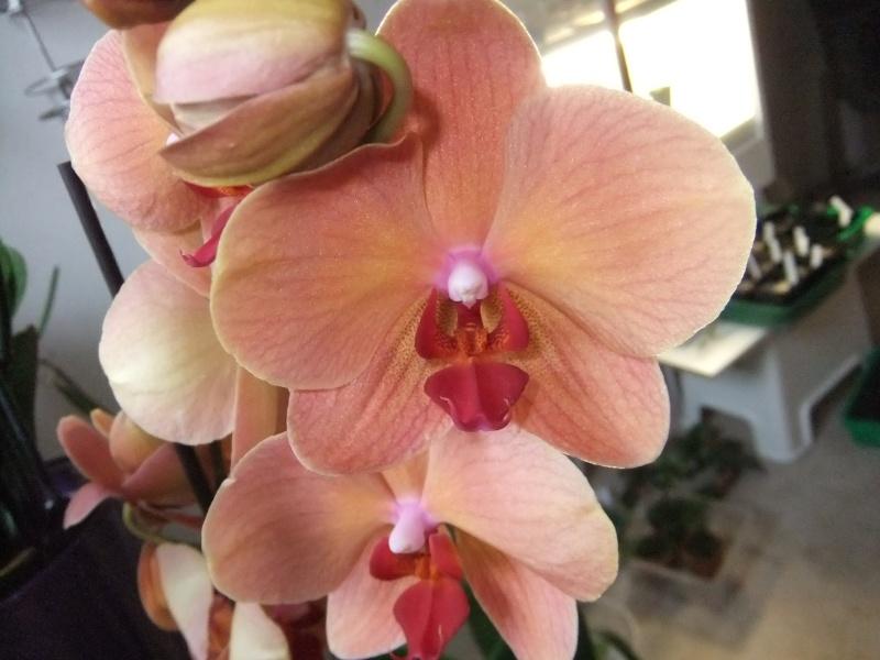 Phalaenopsis Hybride Dscf8563