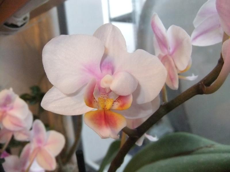 Phalaenopsis Hybride Dscf8620