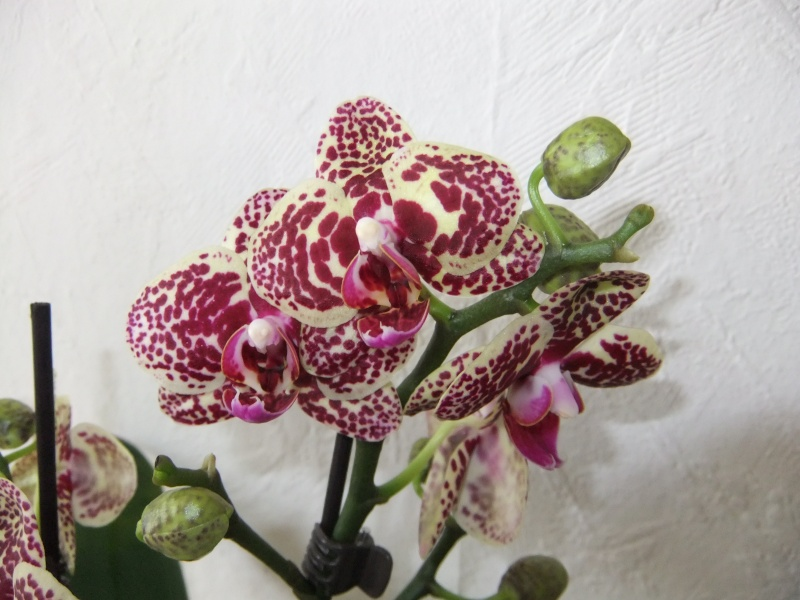 Orchideen - Seite 54 Dscf8621