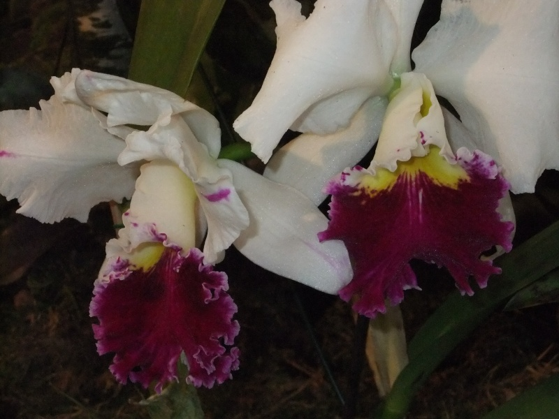 Orchideen-Ausstellungen aus aller Welt Dscf9016