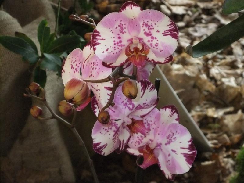 Orchideen-Ausstellungen aus aller Welt Dscf9017