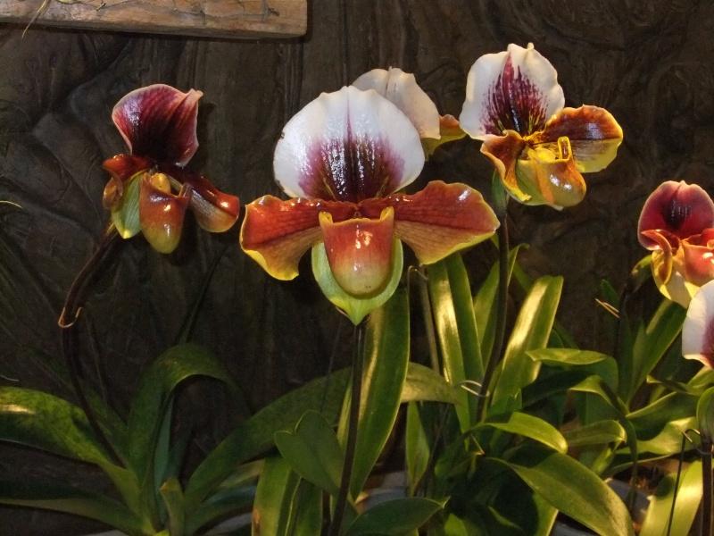 Orchideen-Ausstellungen aus aller Welt Dscf9037