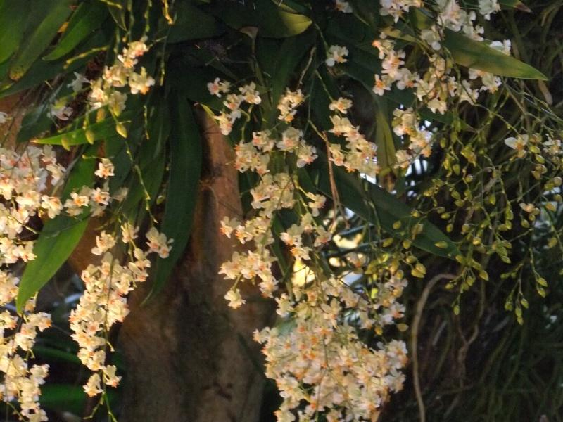 Orchideen-Ausstellungen aus aller Welt Dscf9052