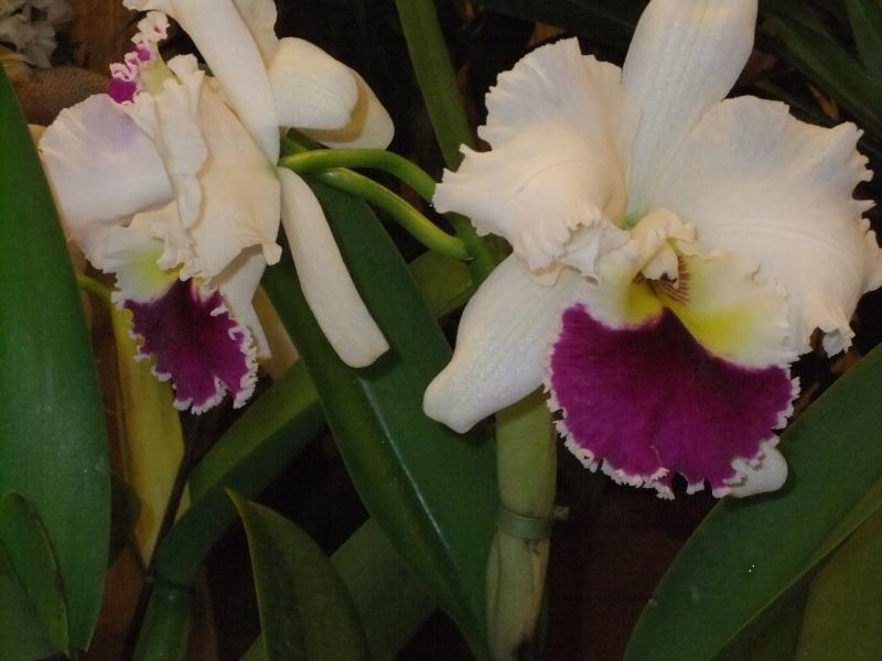 Orchideen-Ausstellungen aus aller Welt Dscf9062