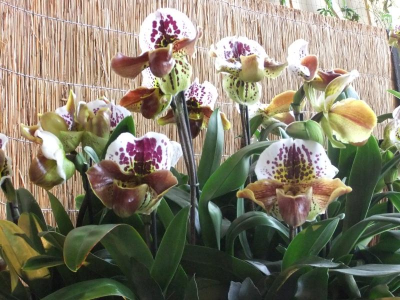 Orchideen-Ausstellungen aus aller Welt Dscf9119