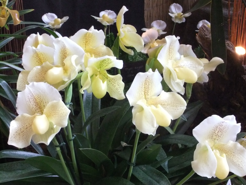 Orchideen-Ausstellungen aus aller Welt Dscf9120