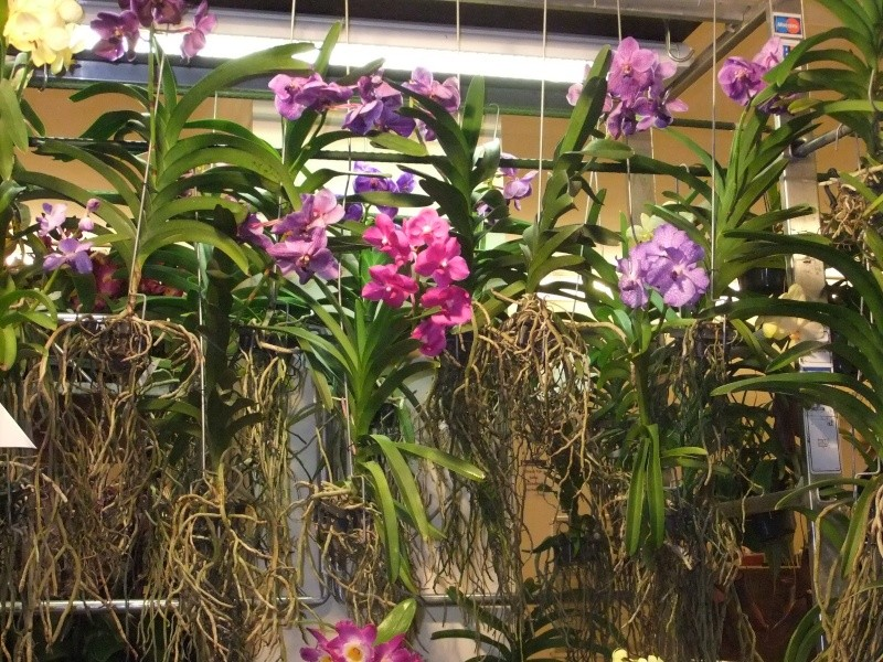 Orchideen-Ausstellungen aus aller Welt - Seite 2 Dscf9135