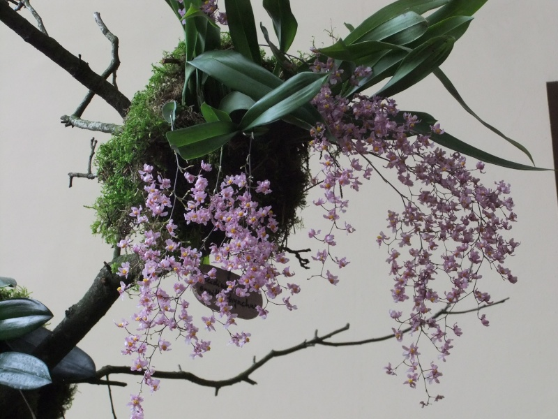 Orchideen-Ausstellungen aus aller Welt - Seite 2 Dscf9152