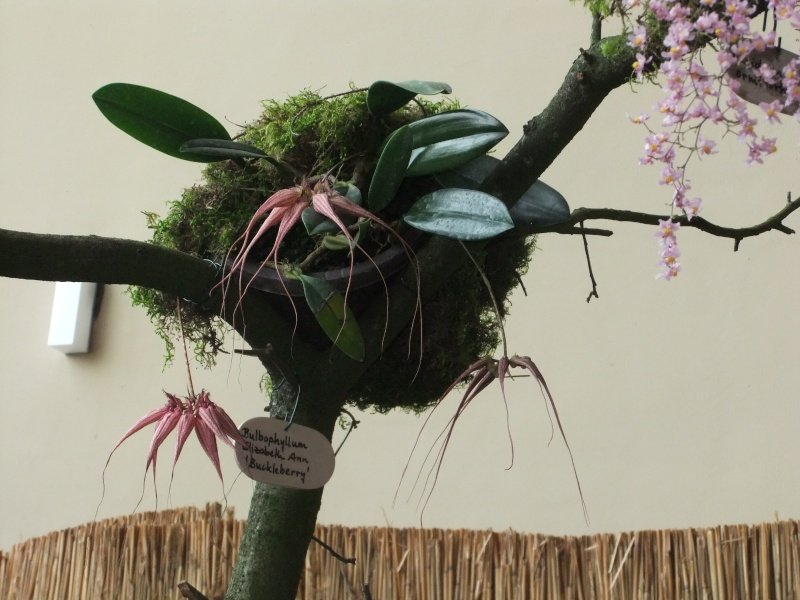 Orchideen-Ausstellungen aus aller Welt - Seite 2 Dscf9153