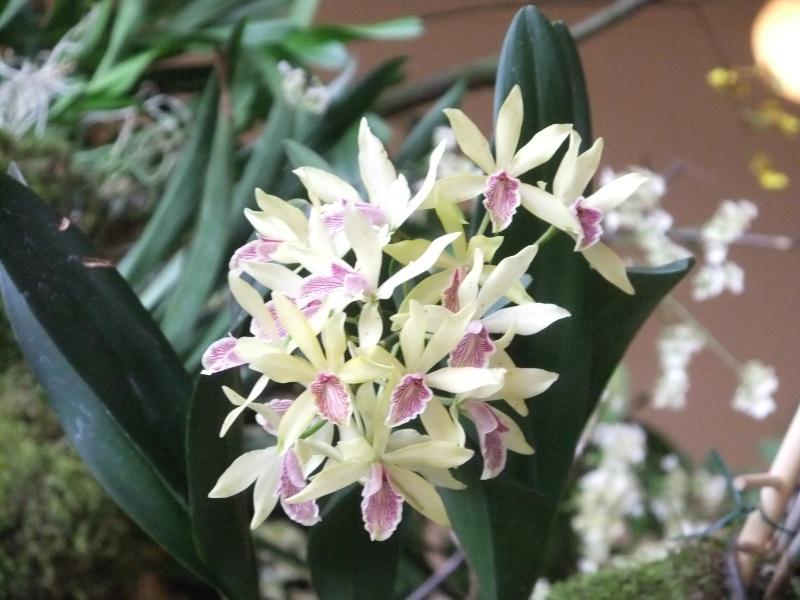 Orchideen-Ausstellungen aus aller Welt - Seite 2 Dscf9174