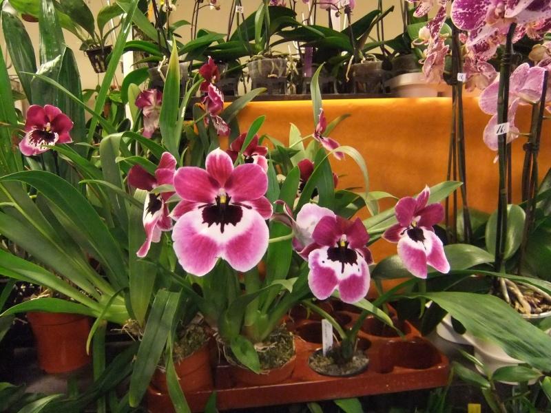 Orchideen-Ausstellungen aus aller Welt - Seite 2 Dscf9176